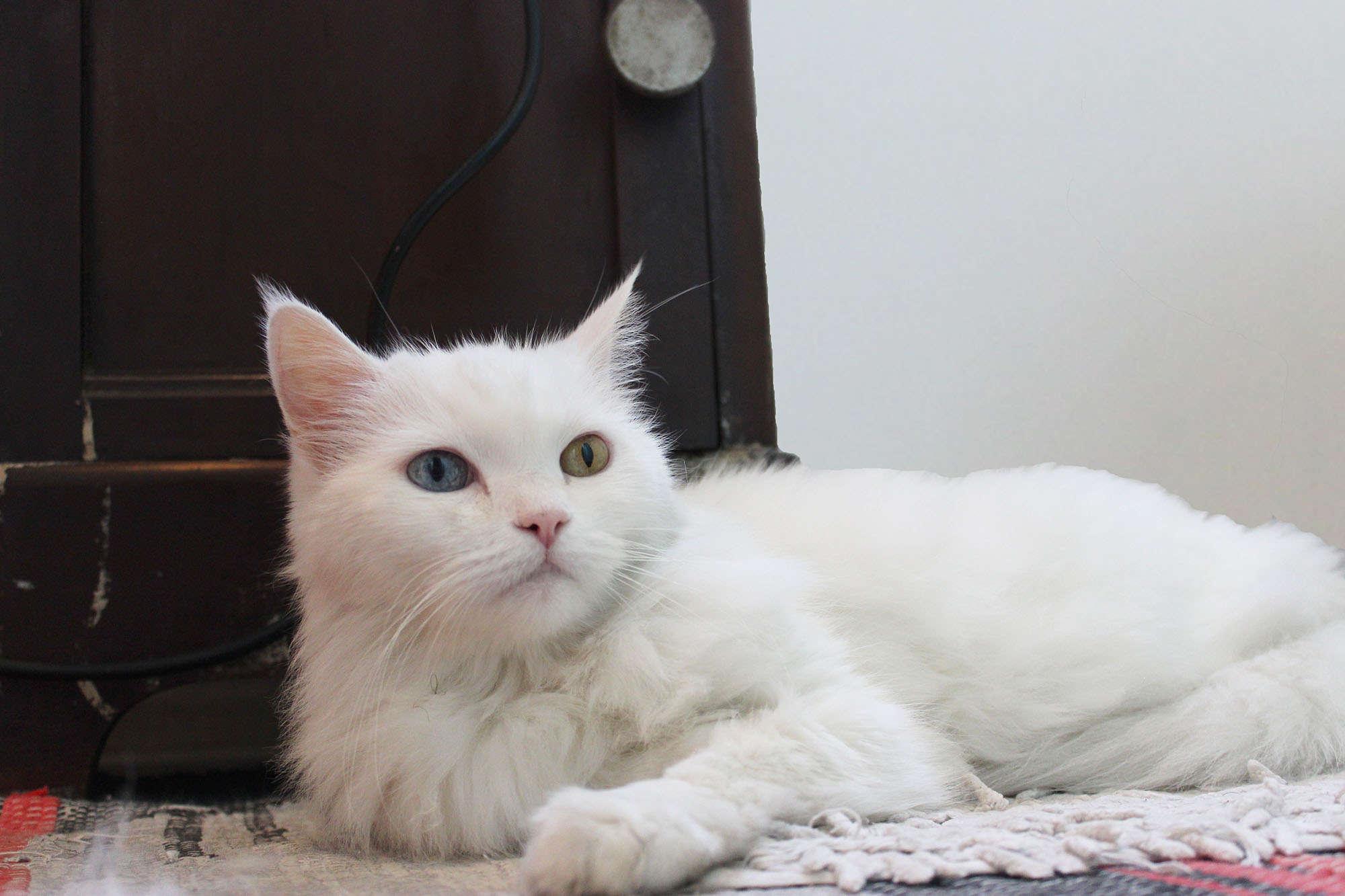 foto da gata Greta que tem um olho azul e outro verde