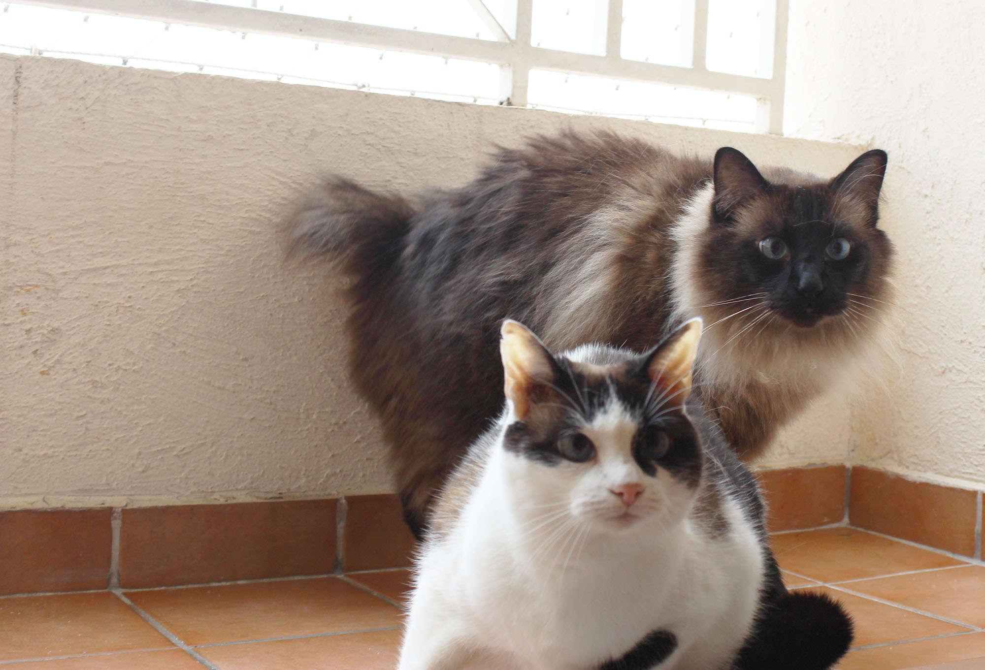 foto dos gatos Hachi e Siva