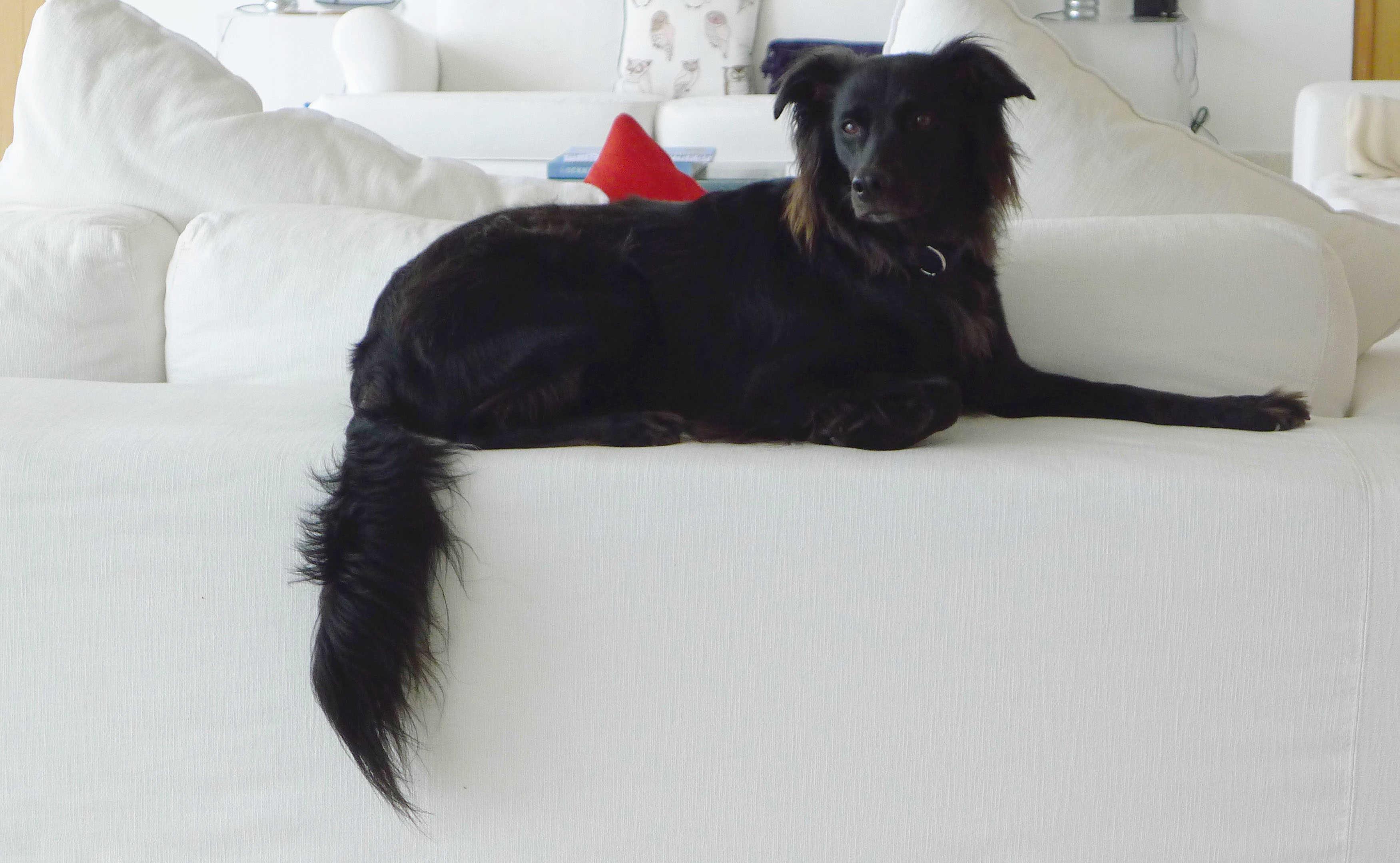 foto da cadela Snowball