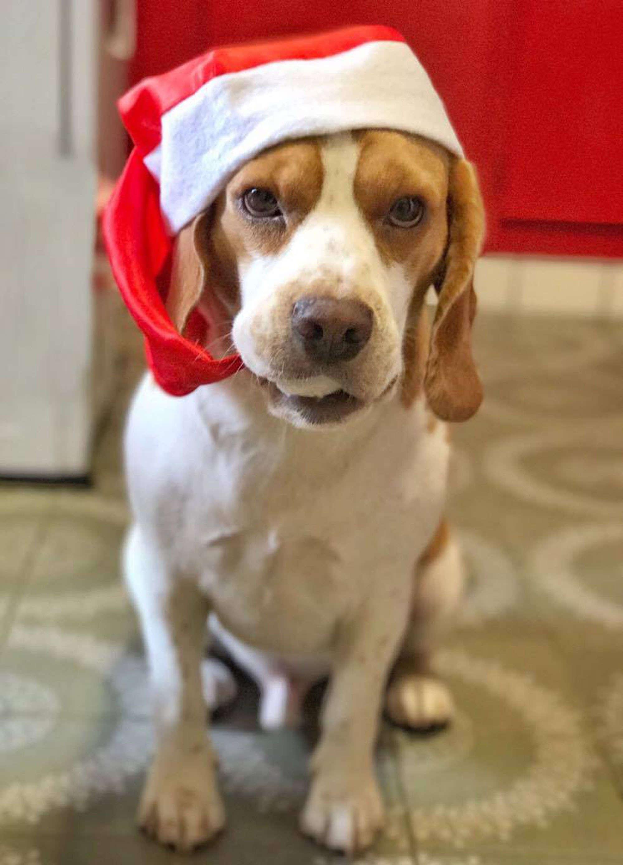 Beagle Campagnolo
